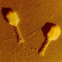 bacteriofag