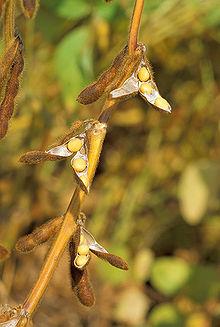 220px-Soybean.USDA